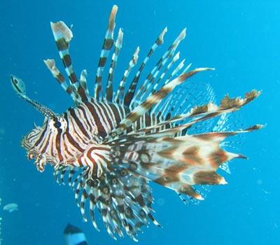 Pesce leone egittiamo blog sull 39 egitto e localit del for Immagini di pesci disegnati