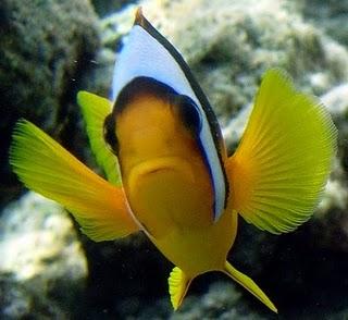 Nemo il pesce pagliaccio egittiamo blog sull 39 egitto e for Uova di pesce rosso