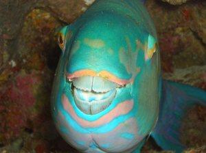 Pesci del mar rosso egittiamo blog sull 39 egitto e for Disegno pesce palla