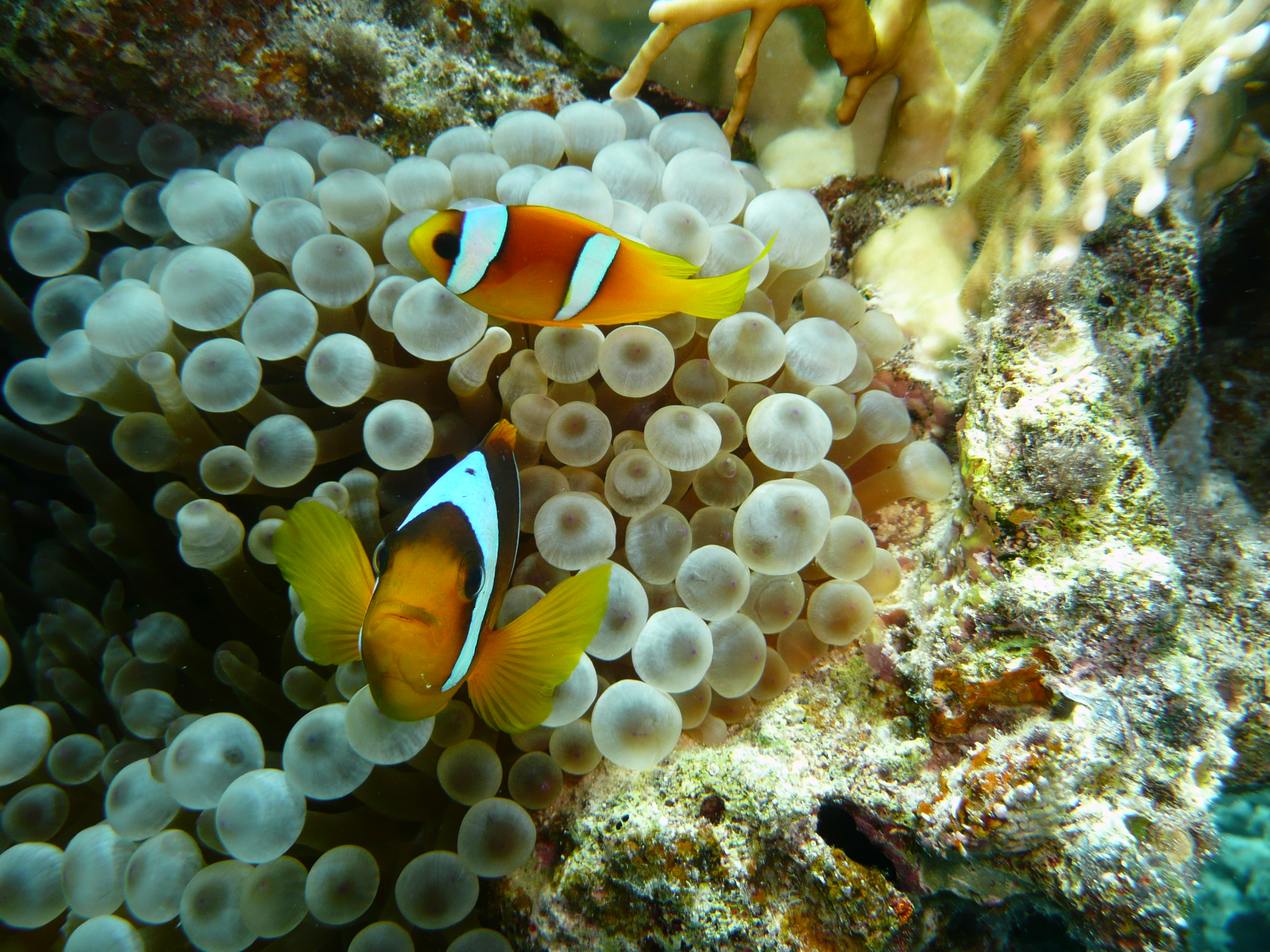 Pesce pagliaccio egittiamo blog sull 39 egitto e localit for Pesce pagliaccio foto