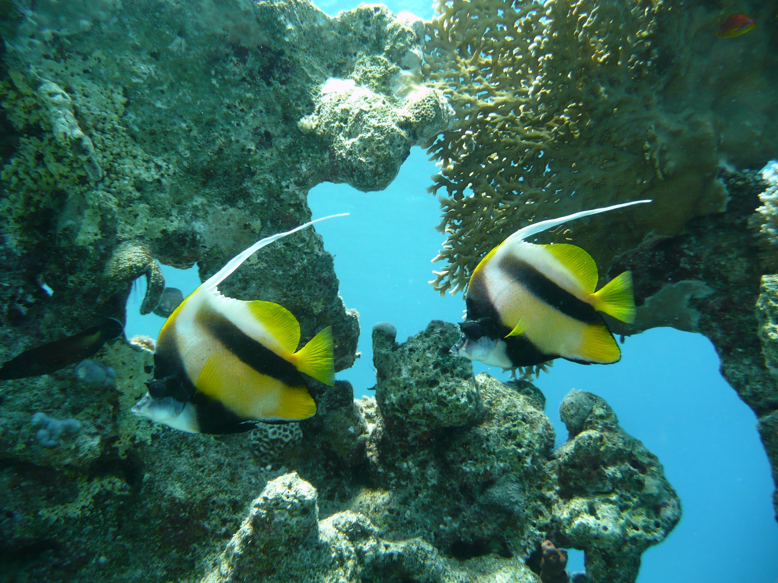Pesci del mar rosso egittiamo blog sull 39 egitto e for Immagini di pesci disegnati