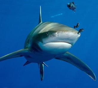 Attacco squalo egittiamo blog sull 39 egitto e localit for Squalo bianco da colorare