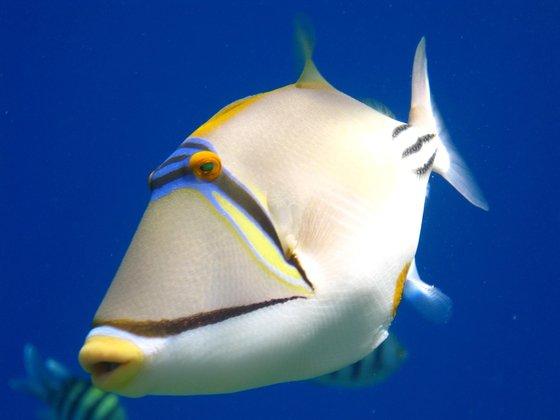 Una foto al giorno il pesce picasso egittiamo blog for Quanto vive un pesce rosso