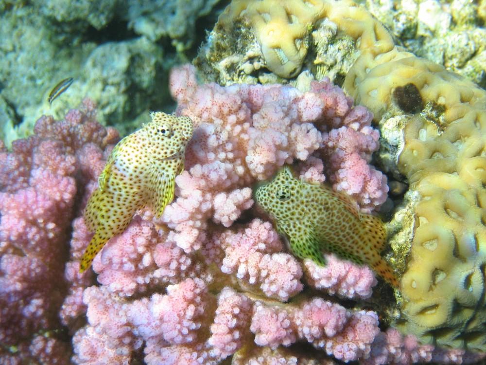 Pesci del mar rosso egittiamo blog sull 39 egitto e for Uova di pesce rosso